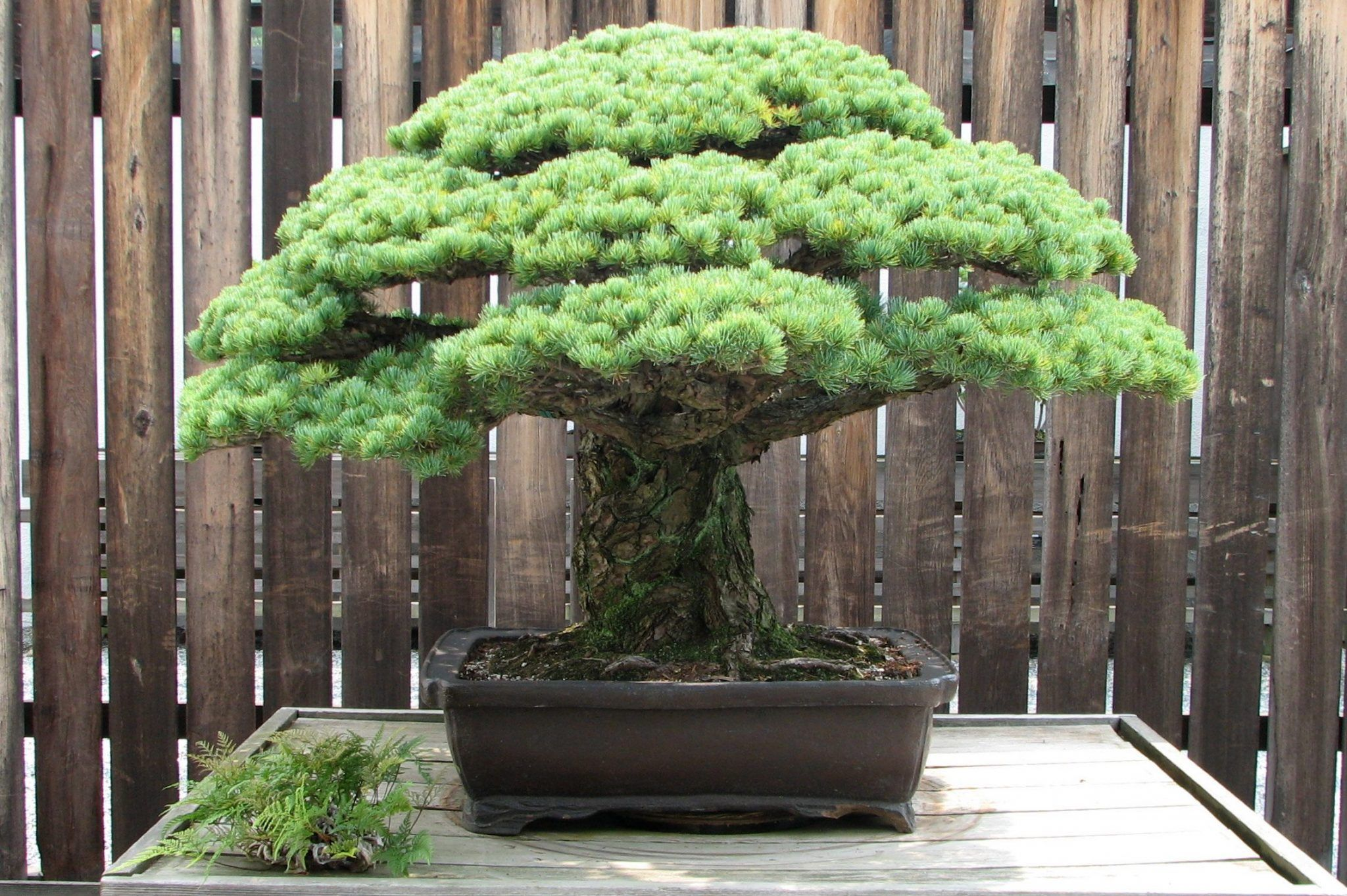 bonsai mas caro